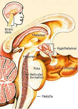 brain stem.gif from World book multimedia encylopedia
